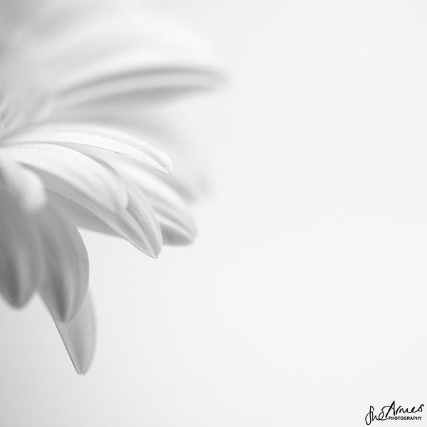 Gerbera petals
