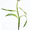 Dancing Tulip 3