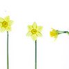 Daffodil Line up 2