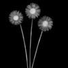 Gerbera Ghosts