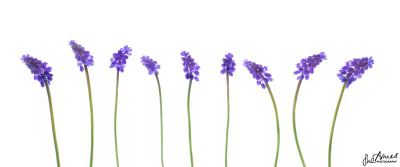 Baby Hyacinth Line up