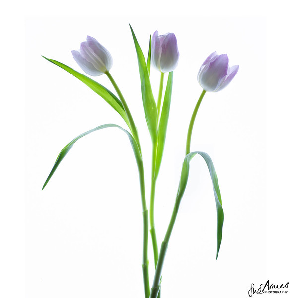 Lilic Tulips
