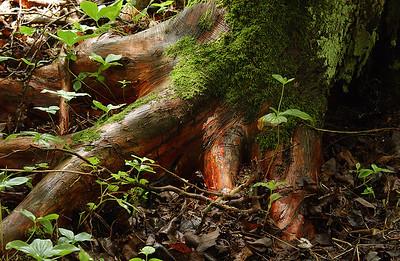 Cedar Roots - Naubinway, Michigan