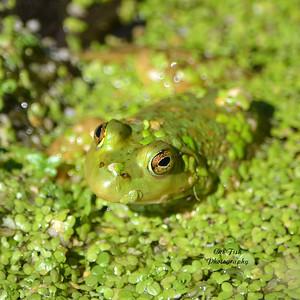 Camofloge  Frog
