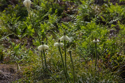 Bear Grass Blooming Landscape 5-18-18 Mt Hood Natl Forest