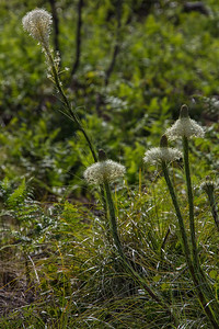 Bear Grass Portrait Mt Hood Natl Forest 5-18-18