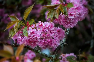 Flowering Cherry Blossom Branch Bokeh