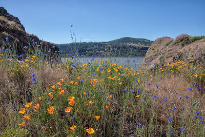 Cornflowers and Poppies Columbia River Gorge 5-18-18