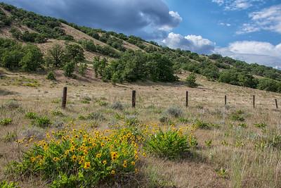 Hwy 97 Spring Oaks Hillside North of Goldendale WA arrowleaf balsamroot blooming foreground 5-16-18