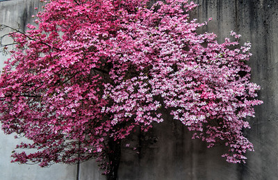Bloom Where You Are Planted Pink Flowering Dogwood