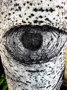 Aspen Tree Trunk Eye - Portrait Orientation