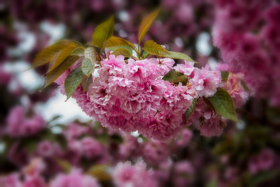 Flowering Cherry Bloom Vignette Bokeh