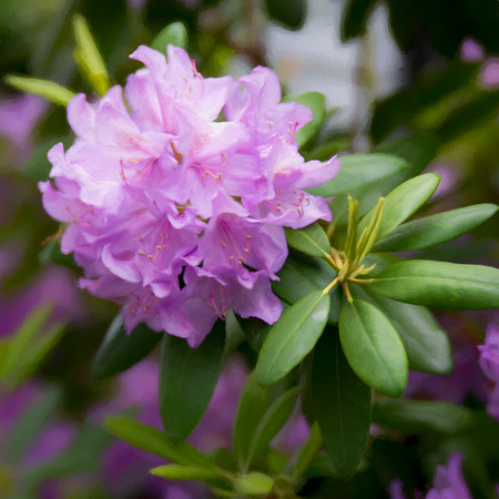 Rhododendron 2021