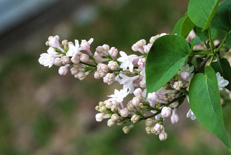 Lilac 2 - 2017