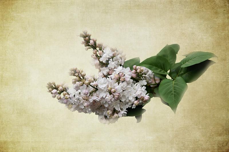 Two Tone Lilacs