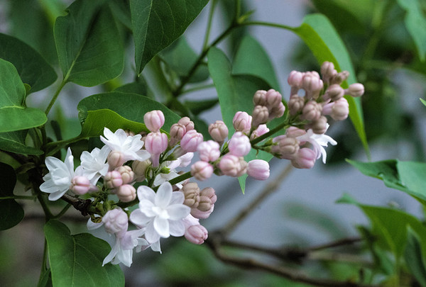 Lilac 3 - 2017