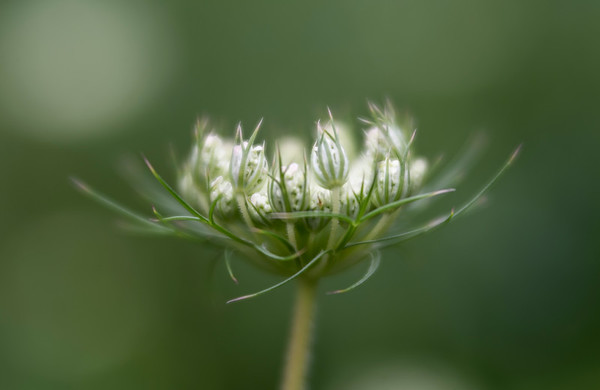 Queen Anne's Lace in bud
