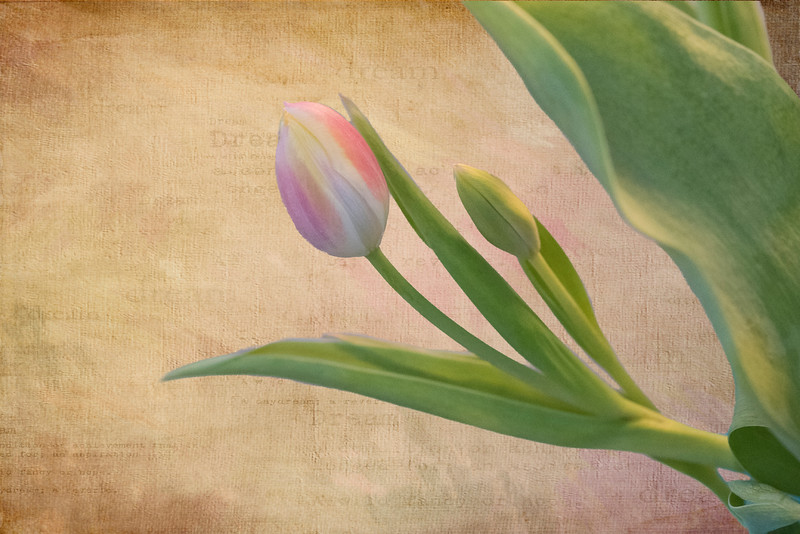 Tulip Bud 2