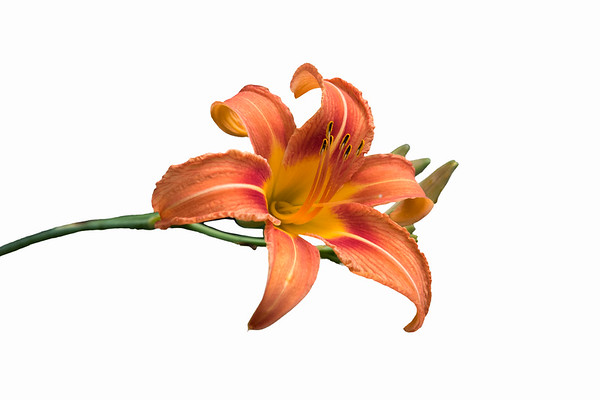 Orange Daylily I