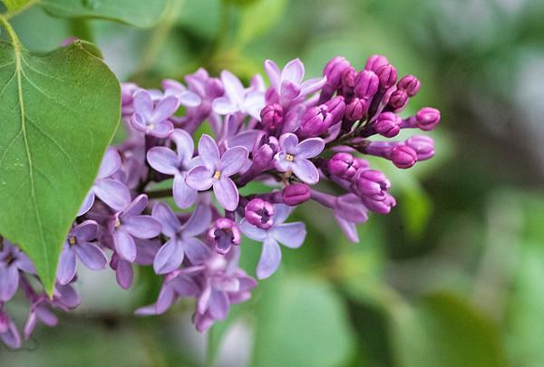 Lilac 1 2017