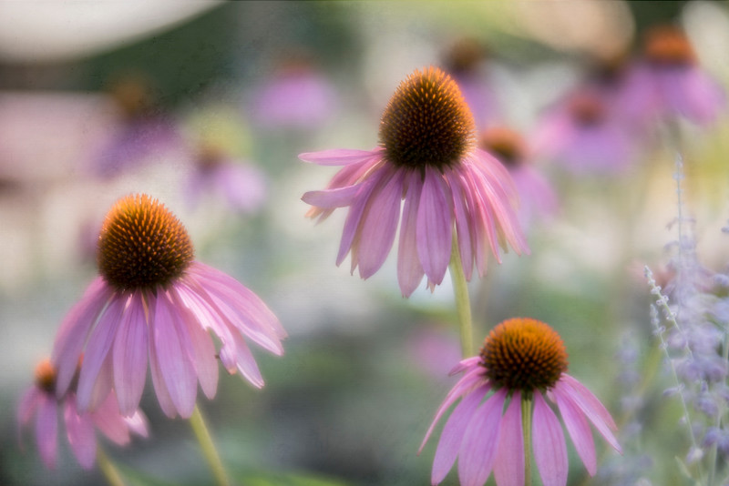 Purple Cone Flowers with texture
