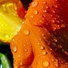 Lingering Drops of Love