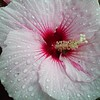 Hibiscus and Waterdrops