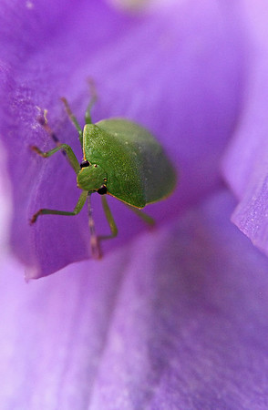 Stink Bug Climbing Out of Flower