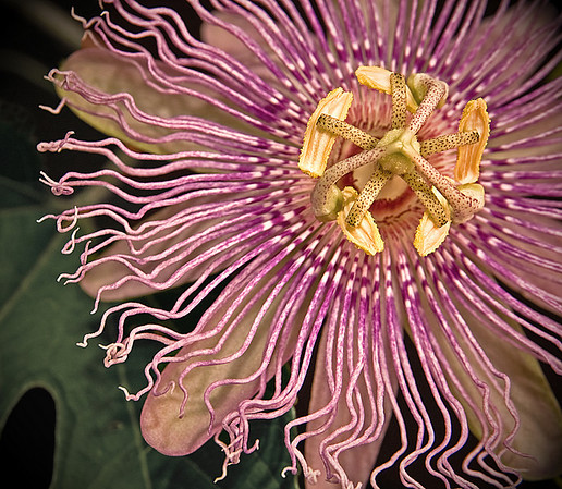 Passion Flower - This is the Tennessee State Wildflower.  Symbolically, the varied parts of this flower represent the Passion of Christ (hence the flowers name). The ten petals of the flower represent 10 disciples of Christ (missing are Judas and Peter). The 72 gnarled filaments symbolize the crown of thorns with a blood red inner fringe symbolizing the wounds caused by the thorns. Representing the five sacred wounds (hands, feet, head & side) are the five stamen with anthers. The 3 stigma symbolize the nails. The abundant and beautiful leaves are shaped like the head of a lance or pike like the spear that pierced the side of Jesus, while the underside of the leaf is marked with dark round spots signifying the thirty pieces of silver, that Judas was paid to betray Christ.