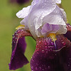 Tennessee Iris.