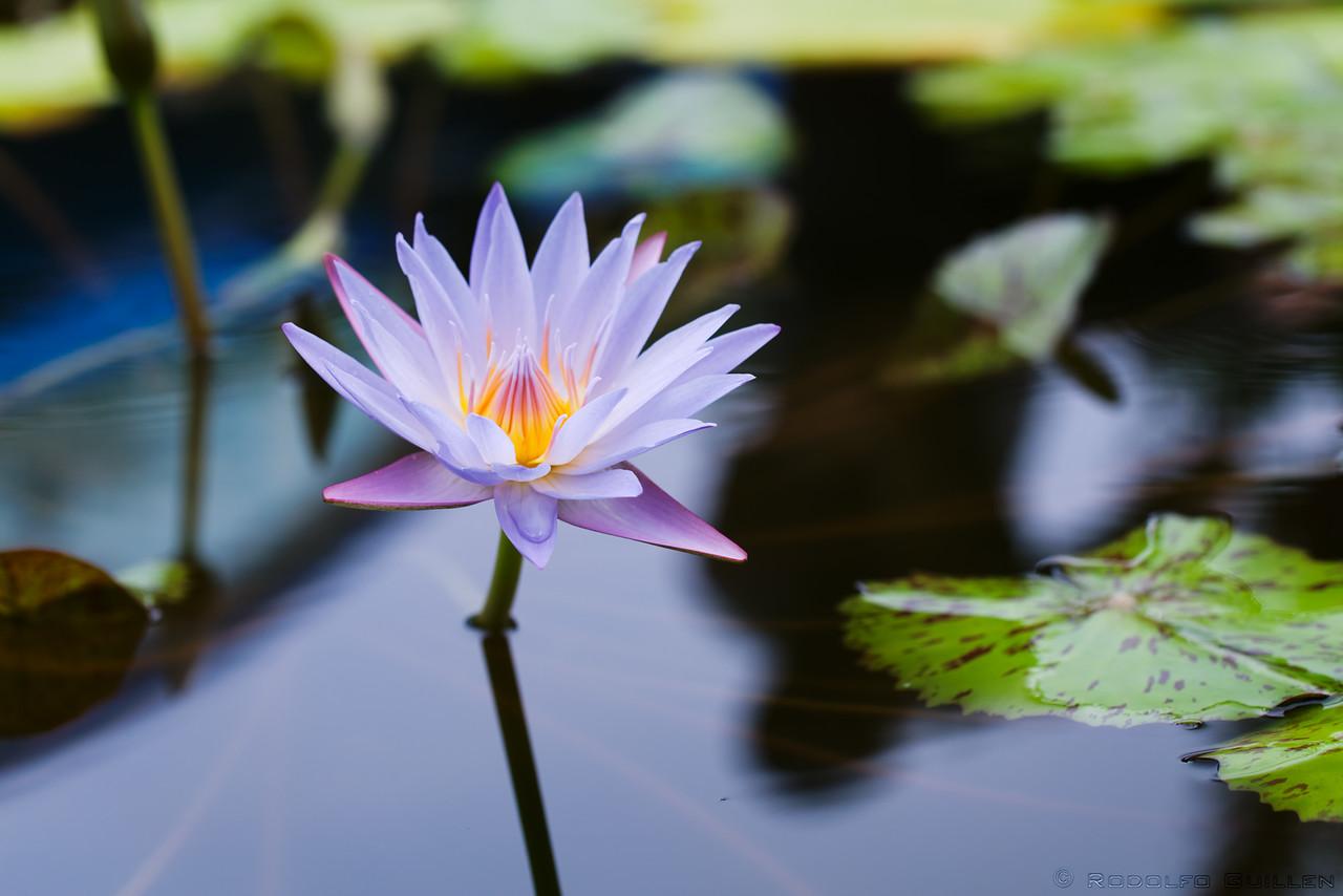 Tropical Royal Blue Waterlily