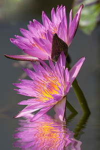 Water Lilies