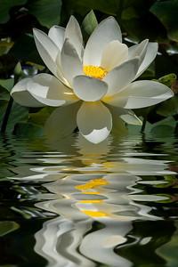 White Lotus flower open