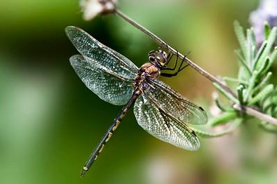 dragon fly copy