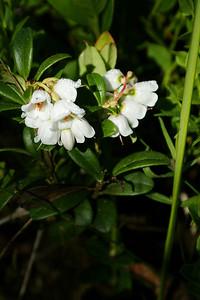 Puolukan kukka - Flower of lingonberry