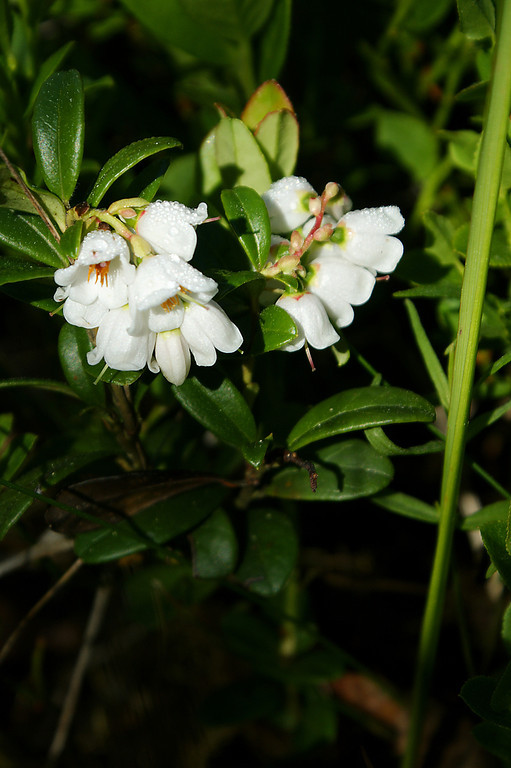 Puolukan kukka - Flower of lingonberry