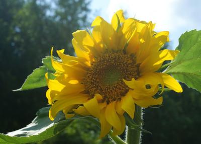 Sunflower - Auringonkukka