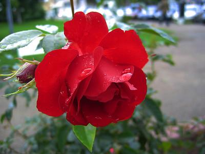 Rose - Ruusu
