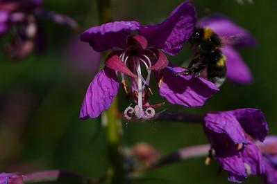 Kukka ja mehiläinen - Flower and a bee