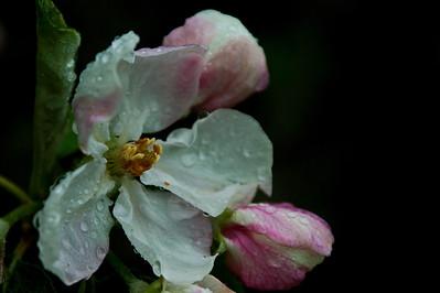 Omenan kukka - Flower of the apple  Eno, 2012