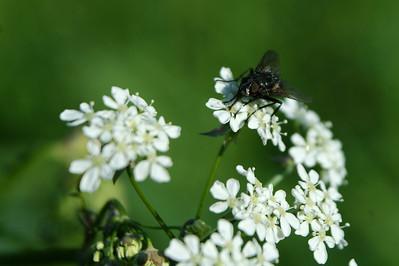 Kukka ja kärpänen - Flower and fly
