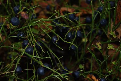 Mustikoita - Blueberries Eno 2012