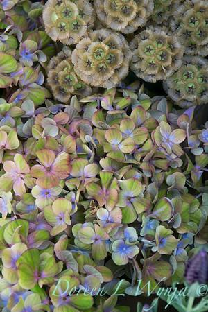 Hydrangea macrophylla_2412