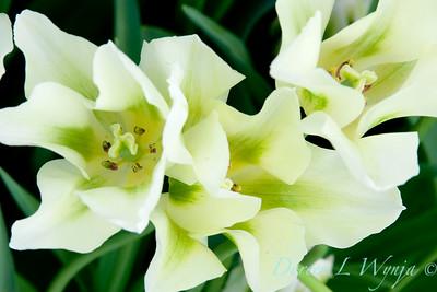 Tulipa 'Spring Green'_2955