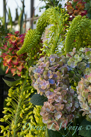 Hydrangea macrophylla_2399