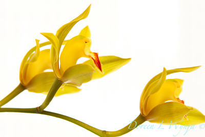 Yellow Orchid_009