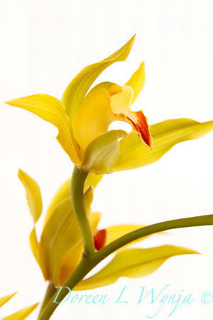 Yellow Orchid_007