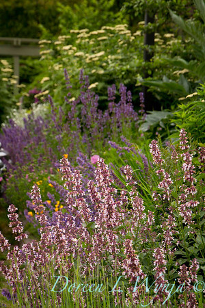 Nepeta Dawn to Dusk_8278