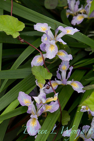 Iris douglasiana_003