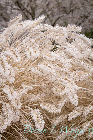 Pennisetum alopecuroides 'Hameln' - frost_9221